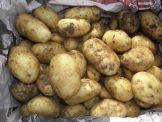 Kartoffeln Charlotte UNGEWASCHEN  Kg = Fr. 2.50