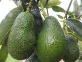 Avocados Hass, grünlich.  Stück = Fr. 2.90
