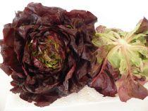 Kopfsalat rot,  Stück = Fr. 2.80