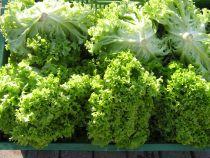 Lollo grün (hell): Knackig frisch.  Gute Salatsorte mit Geschmack, Fülle und Biss. Bringt Farbe, Dekoration und  Volumen in gemischten Salat. Stück à ca. 200 Gramm