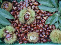 Edel-Kastanien Grosse, dunkelbraune Früchte. Feines Aroma und gut schälbare Sorte.  Schöne Sorte aus Napoli.